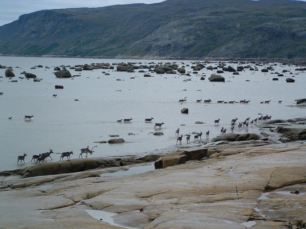 Caribous sur les berges de la rivière aux feuilles,été 2008...(photo: Lester Kovac)